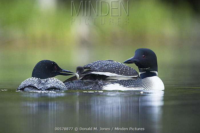 Common Loon (Gavia immer) parent bringing food to chick, Troy, Montana