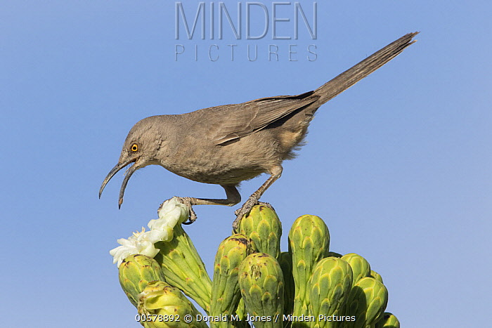 Curve-billed Thrasher (Toxostoma curvirostre) feeding on cactus flower nectar, southern Arizona. Sequence 2 of 2