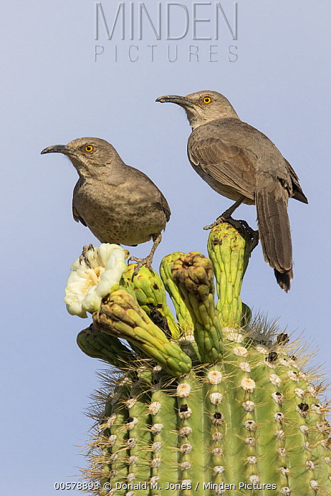 Curve-billed Thrasher (Toxostoma curvirostre) pair, southern Arizona