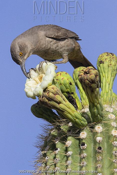 Curve-billed Thrasher (Toxostoma curvirostre) feeding on cactus flower nectar, southern Arizona