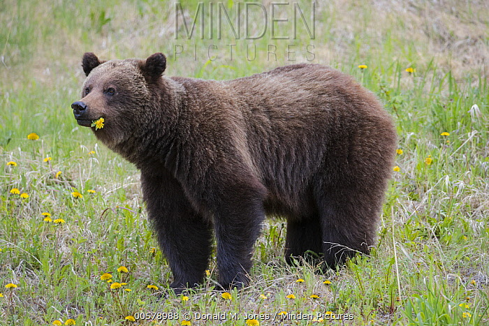 Brown Bear (Ursus arctos) feeding on dandelions, western Canada