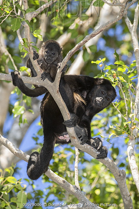 Mantled Howler Monkey (Alouatta palliata) mother and young, Costa Rica