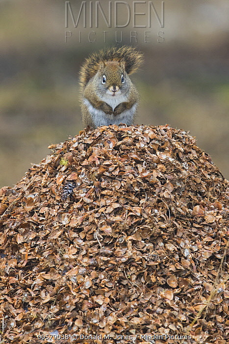 Red Squirrel (Tamiasciurus hudsonicus) on pine cone flakes, western Montana