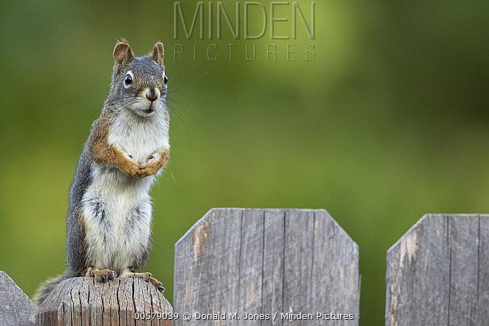Red Squirrel (Tamiasciurus hudsonicus) on backyard fence, western Montana