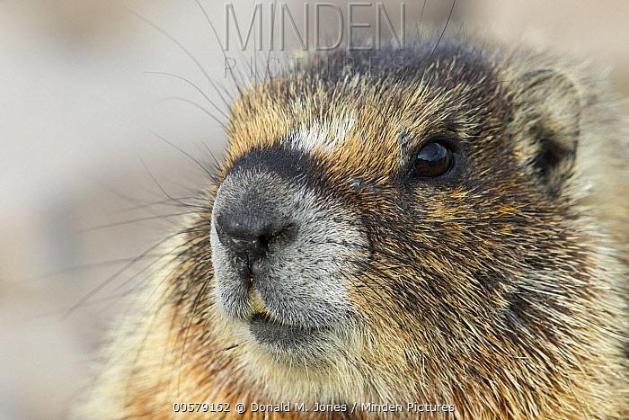 Yellow-bellied Marmot (Marmota flaviventris), central Montana