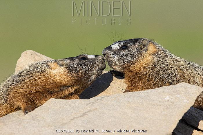 Yellow-bellied Marmot (Marmota flaviventris) pair greeting, central Montana