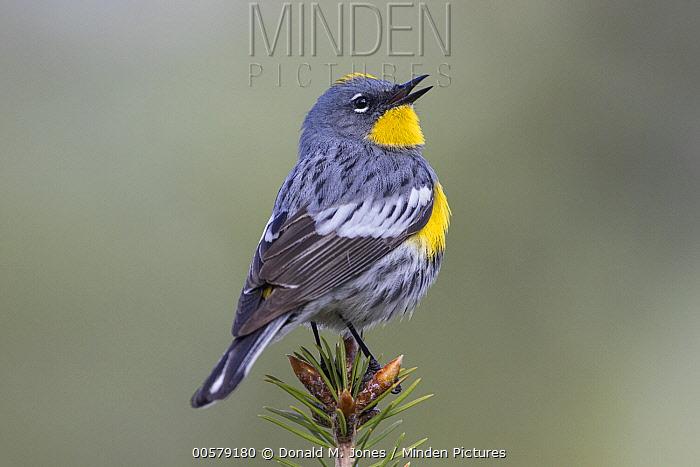 Yellow-rumped Warbler (Setophaga coronata) male calling, Troy, Montana