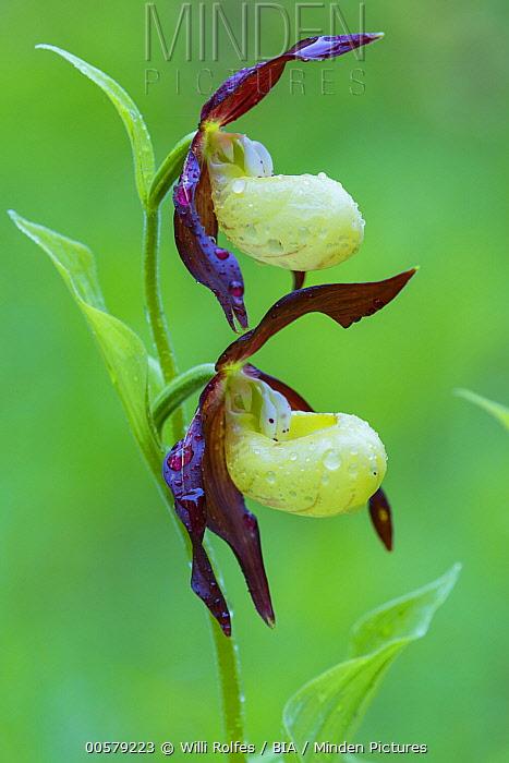 Pink Lady Slipper Orchid (Cypripedium calceolus) flowers, Lower Saxony, Germany