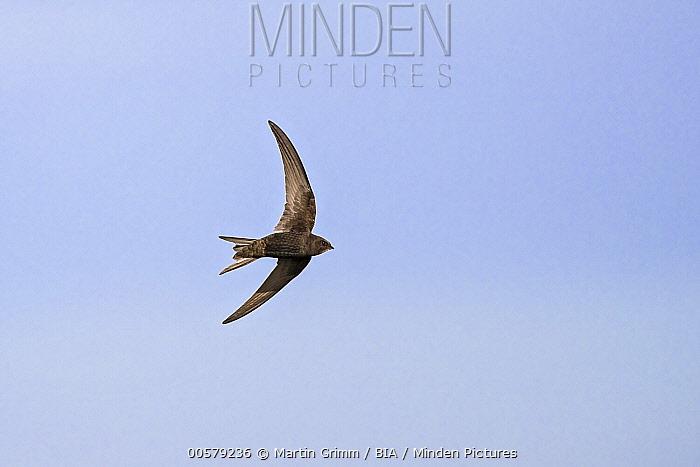 Common Swift (Apus apus) flying, Baden-Wurttemberg, Germany