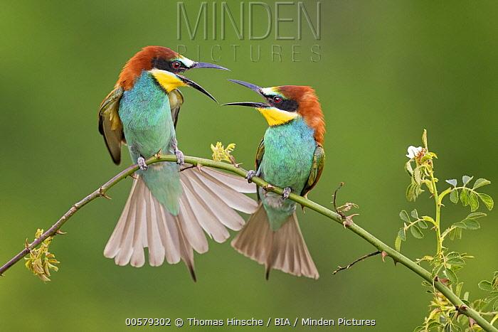 European Bee-eater (Merops apiaster) pair squabbling, Saxony-Anhalt, Germany