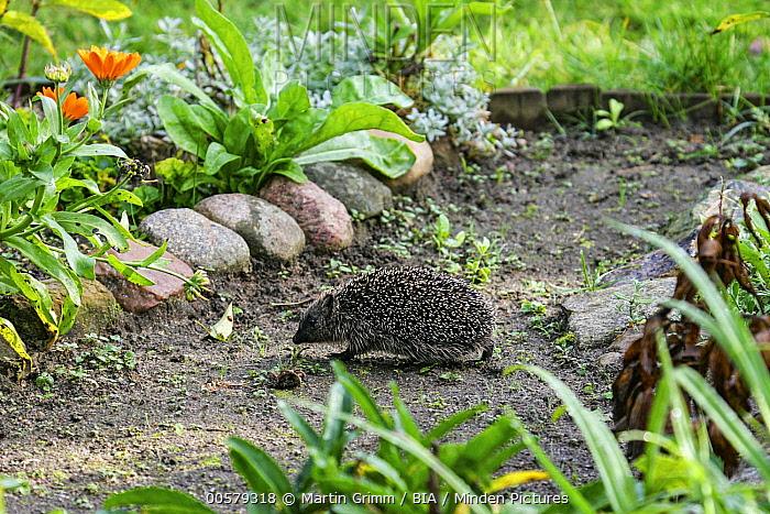 Brown-breasted Hedgehog (Erinaceus europaeus) in backyard, Brandenburg, Germany