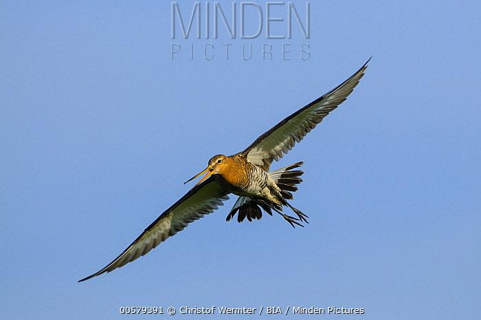 Black-tailed Godwit (Limosa limosa) calling while flying, Gelderland, Netherlands