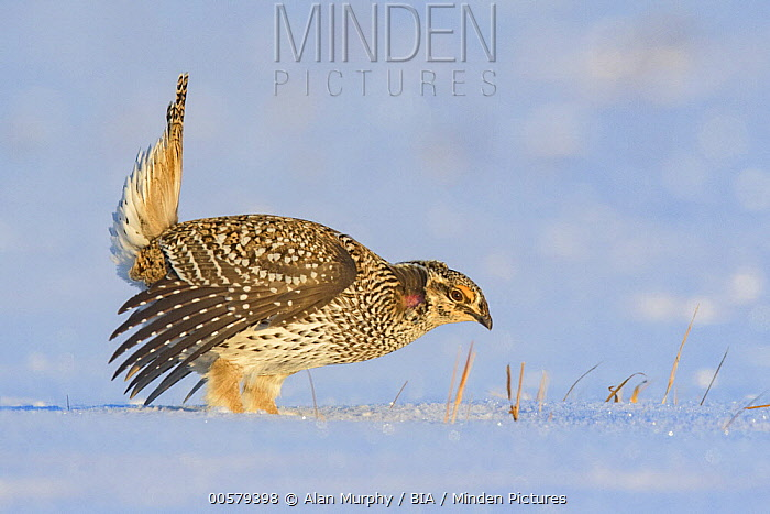 Sharp-tailed Grouse (Tympanuchus phasianellus) male displaying at lek in snow, Minnesota