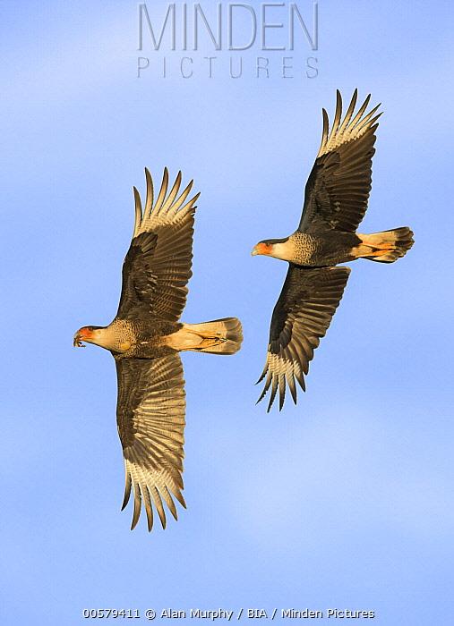 Northern Caracara (Caracara cheriway) chasing sub-adult with prey, Texas