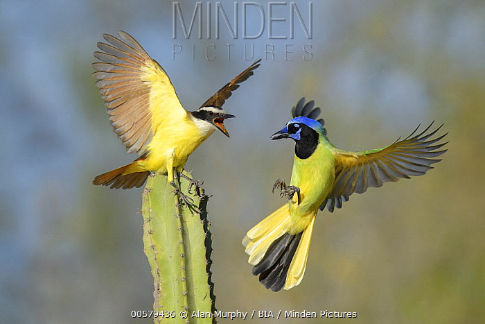 Great Kiskadee (Pitangus sulphuratus) and Green Jay (Cyanocorax yncas)  fighting, Texas