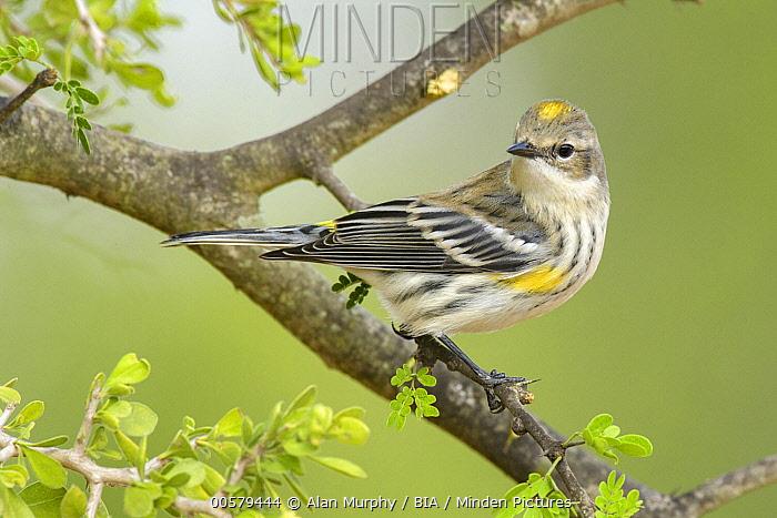 Myrtle Warbler (Setophaga coronata coronata), Texas