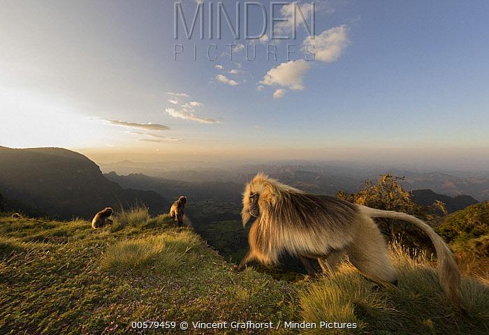 Gelada Baboon (Theropithecus gelada) male on escarpment, Simien Mountain National Park, Ethiopia