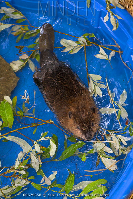 American Beaver (Castor canadensis) one-month-old orphaned kit in pool, Sarvey Wildlife Care Center, Arlington, Washington