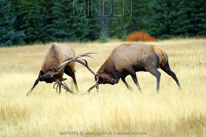 Elk (Cervus elaphus) bulls fighting, North America