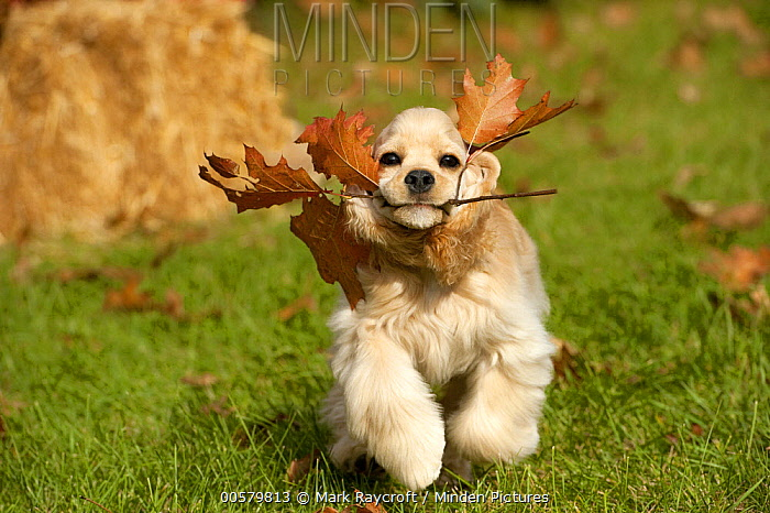 Cocker Spaniel (Canis familiaris) puppy playing, North America