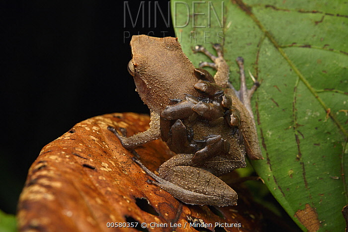 Spike-browed Frog (Sphenophryne cornuta) father transporting froglets, Digul River, West Papua, Indonesia