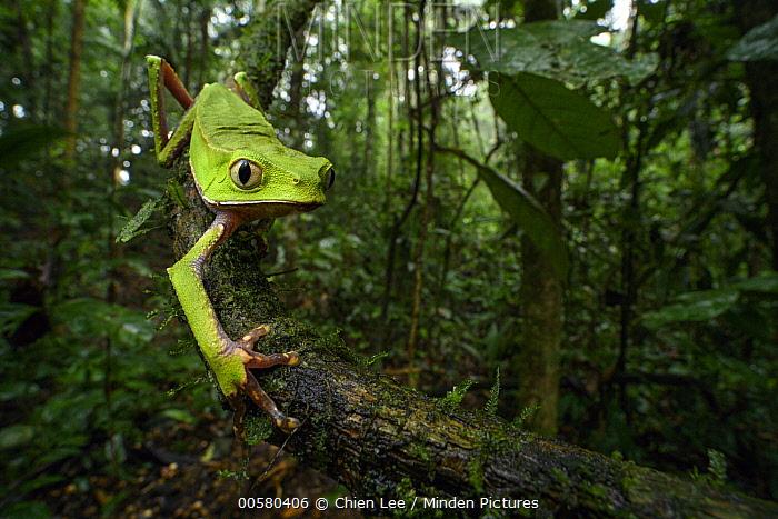 White-lined Leaf Frog (Phyllomedusa vaillanti) in rainforest, Ecuador