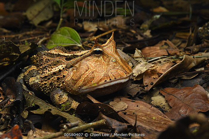 Amazon Horned Frog (Ceratophrys cornuta), Yasuni National Park, Ecuador