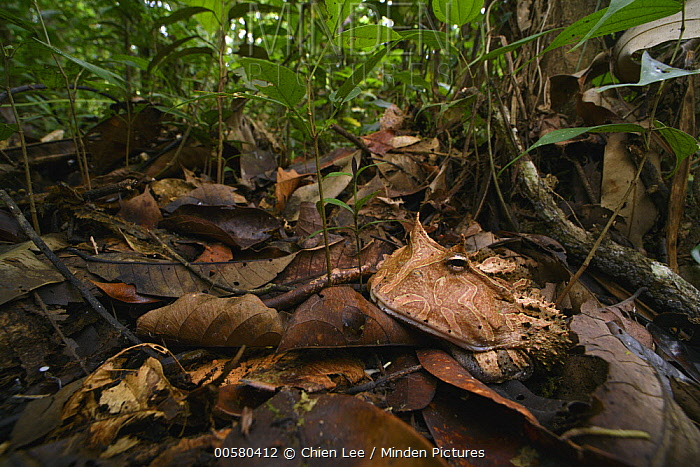 Amazon Horned Frog (Ceratophrys cornuta) in rainforest, Yasuni National Park, Ecuador