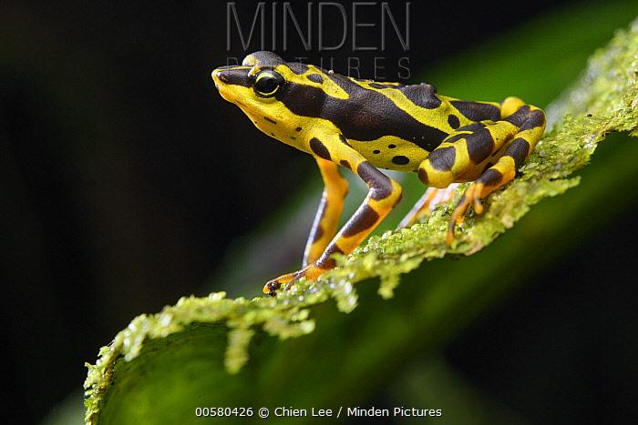 Condoto Stubfoot Toad (Atelopus spurrelli), Utria National Park, Colombia