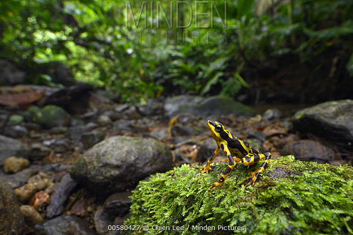 Condoto Stubfoot Toad (Atelopus spurrelli) in rainforest, Utria National Park, Colombia