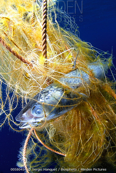 Fish killed by floating debris, Mayotte, Indian Ocean