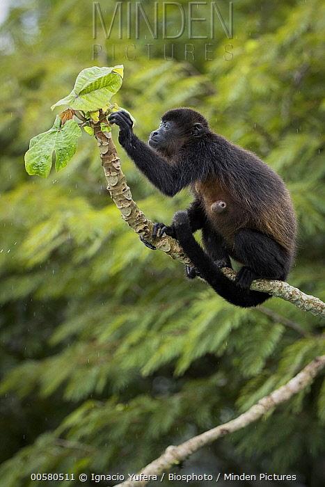 Mantled Howler Monkey (Alouatta palliata) parasitized by Botfly (Oestridae) larva, Gamboa, Panama
