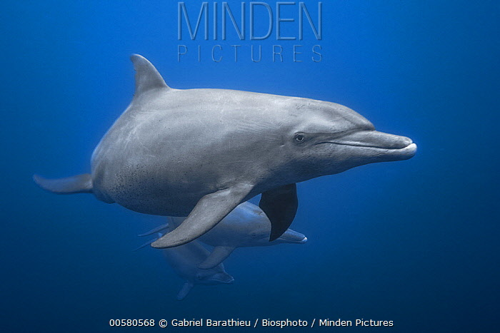 Indo-pacific Bottlenose Dolphin (Tursiops aduncus) trio, Mayotte, Indian Ocean