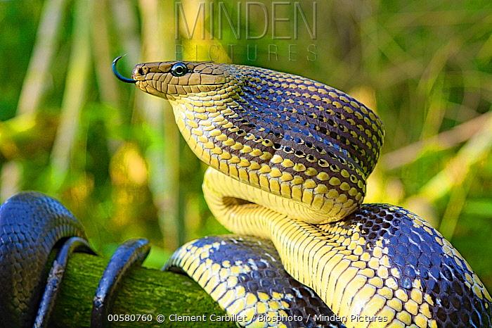 Jansens Ratsnake (Gonyosoma jansenii) flicking tongue