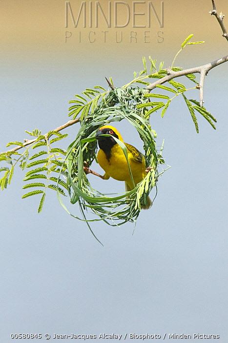 Masked-Weaver (Ploceus velatus) male building nest, Kruger National Park, South Africa, sequence 1 of 4