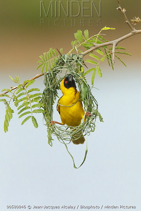 Masked-Weaver (Ploceus velatus) male building nest, Kruger National Park, South Africa, sequence 2 of 4