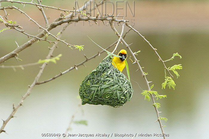 Masked-Weaver (Ploceus velatus) male building nest, Kruger National Park, South Africa, sequence 4 of 4