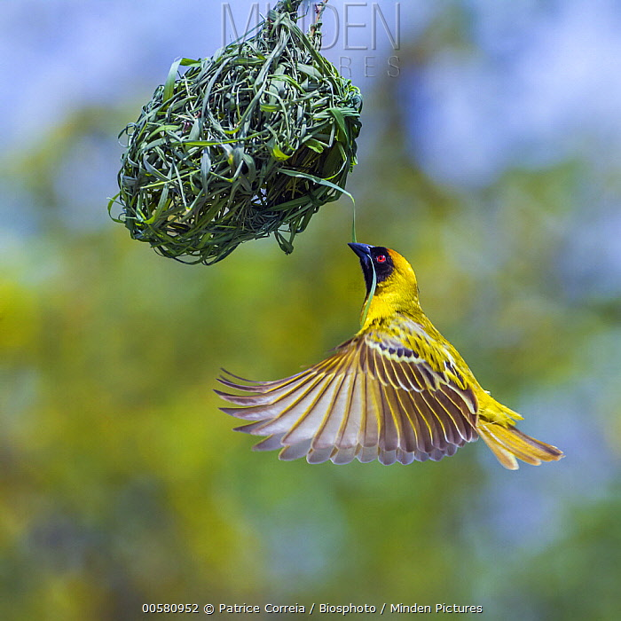 Masked-Weaver (Ploceus velatus) male approaching nest with more material, Kruger National Park, South Africa