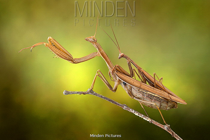 European Mantid (Mantis religiosa) pair mating, Po River, Luzzara, Italy
