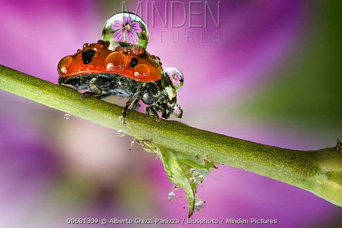 Seven-spotted Ladybird (Coccinella septempunctata) with dew, Mantua, Lombardy, Italy
