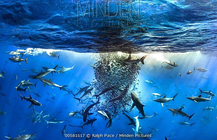Silky Shark (Carcharhinus falciformis), Galapagos Shark (Carcharhinus galapagensis), Dusky Shark (Carcharhinus obscurus), and Black-tip Shark (Carcharhinus limbatus) group working with Yellowfin Tuna (Thunnus albacares) and Rainbow Runners (Elagatis bipinnulata) to shoal up Bigeye Scad (Selar crumenophthalmus) and Amberstripe Scad (Decapterus muroadsi)