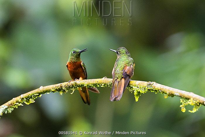 Chestnut-breasted Coronet (Boissonneaua matthewsii) hummingbirds, Ecuador