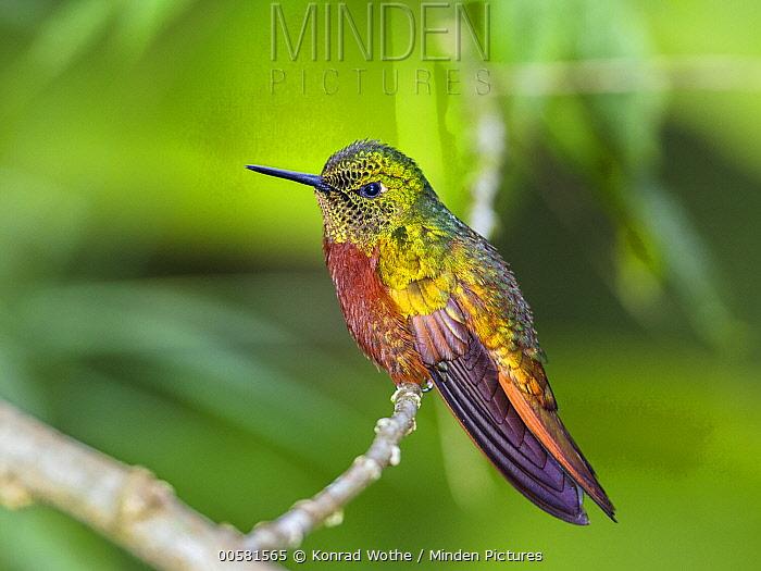 Chestnut-breasted Coronet (Boissonneaua matthewsii) hummingbird, Ecuador