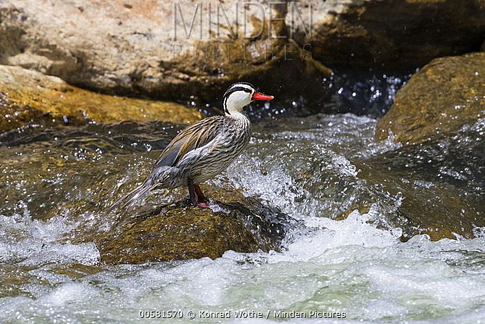 Torrent Duck (Merganetta armata) male in river, Ecuador