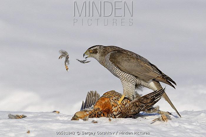 Northern Goshawk (Accipiter gentilis) feeding on Black Grouse (Tetrao tetrix) female in winter, Finland