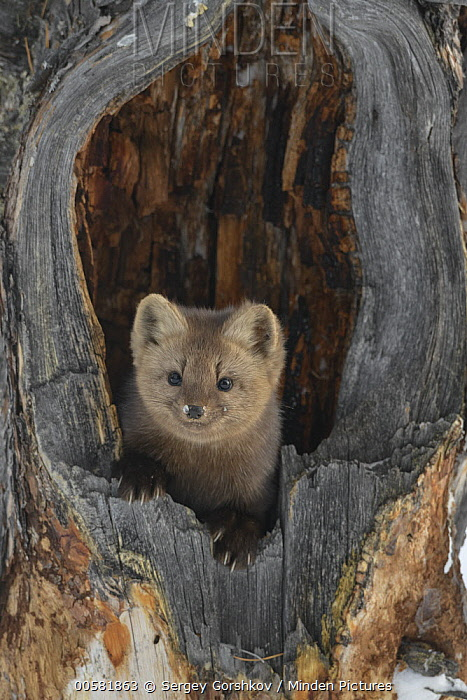 Sable (Martes zibellina) in tree stump, Lake Baikal, Barguzinsky Nature Reserve, Russia
