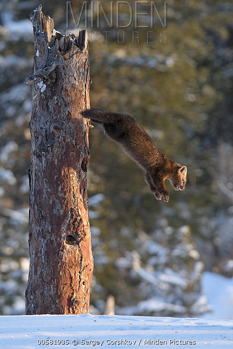 Sable (Martes zibellina) leaping from tree in winter, Lake Baikal, Barguzinsky Nature Reserve, Russia