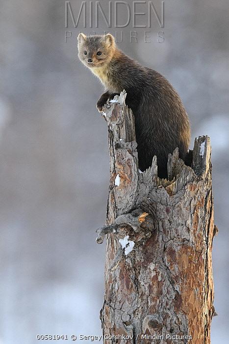 Sable (Martes zibellina) in tree in winter, Lake Baikal, Barguzinsky Nature Reserve, Russia