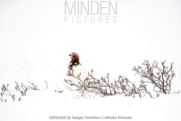Willow Ptarmigan (Lagopus lagopus) male in winter, Taymyr Peninsula, Siberia, Russia