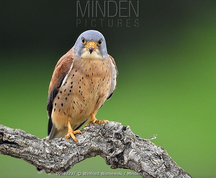 Lesser Kestrel (Falco naumanni) male, Castile-La Mancha, Spain